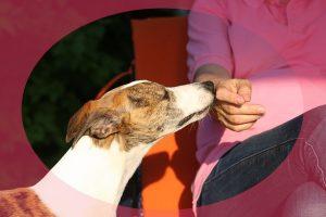 Perro Galgo, oliendo la mano se su compañera humana